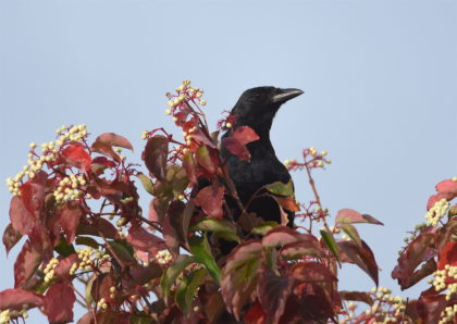 Fish Crow eating Dogwood berries