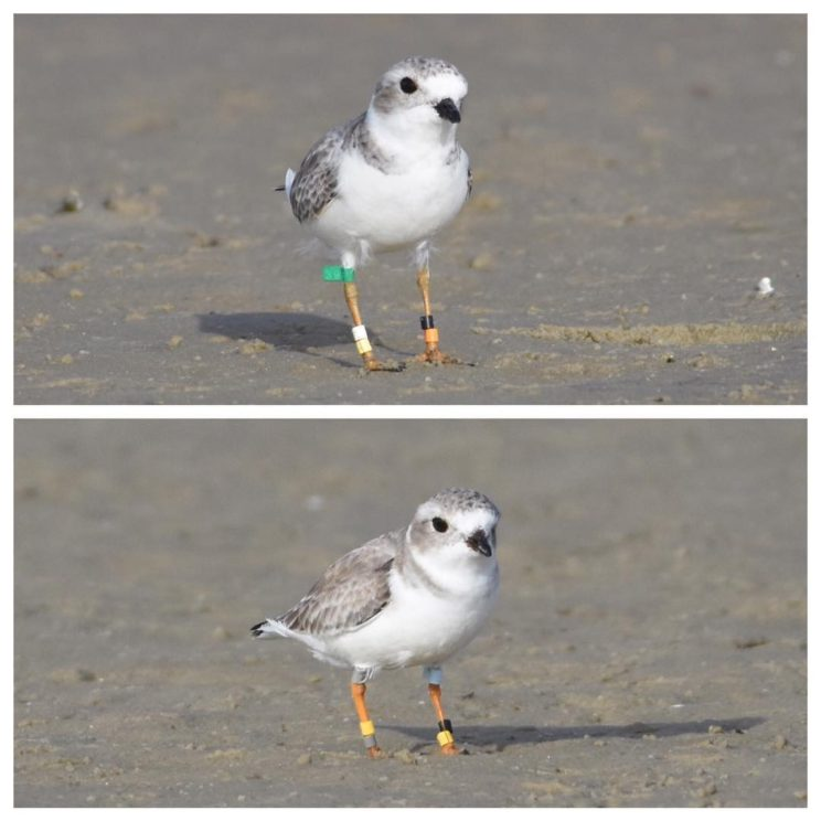 Banded Piping Plovers - Bunch Beach
